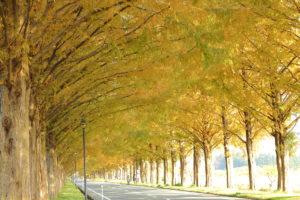 秋のメタセコイア並木道