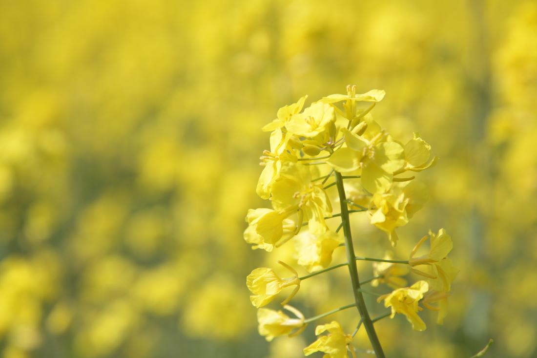 高島市新旭町の菜の花畑
