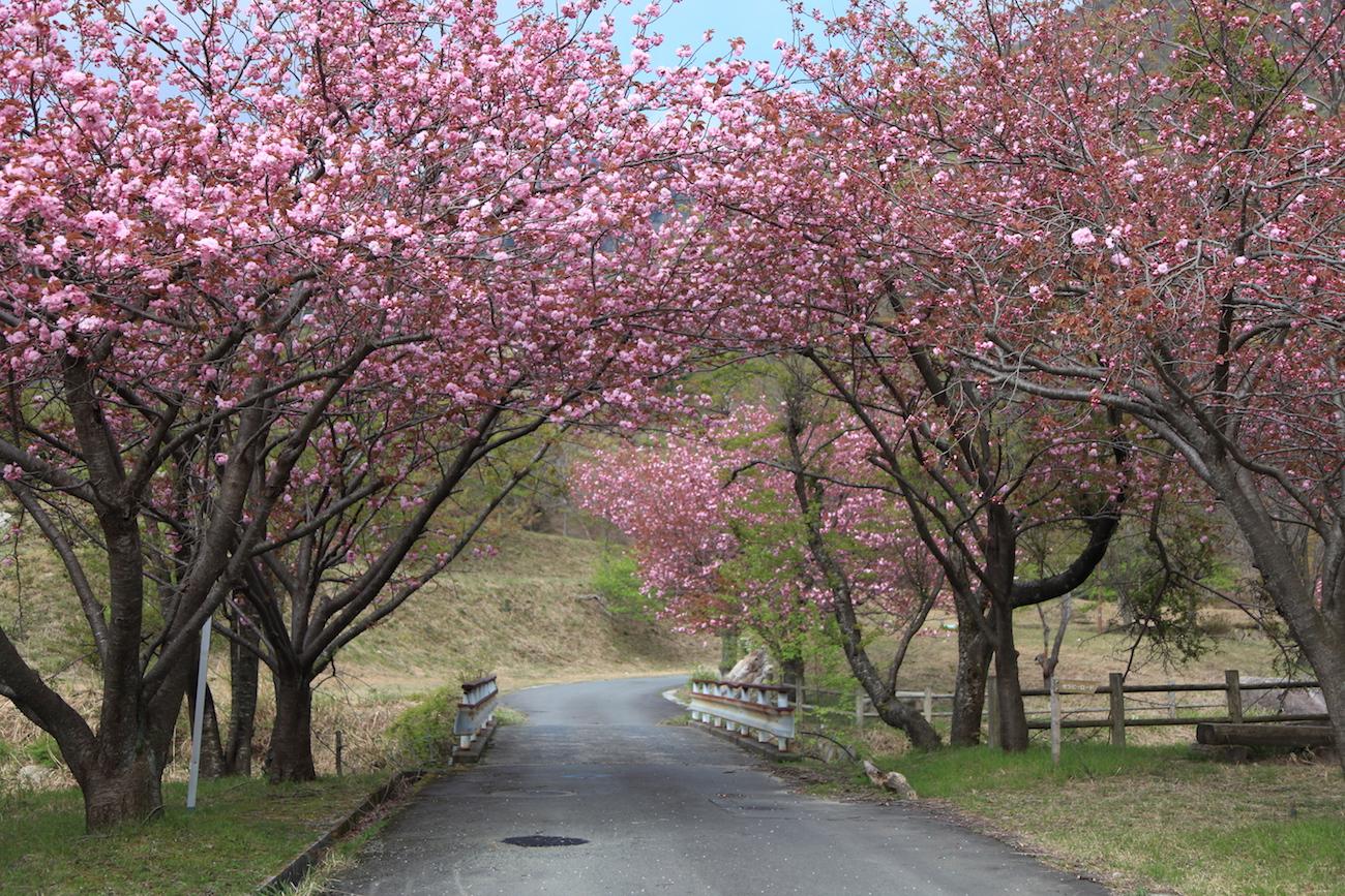八重桜の並木